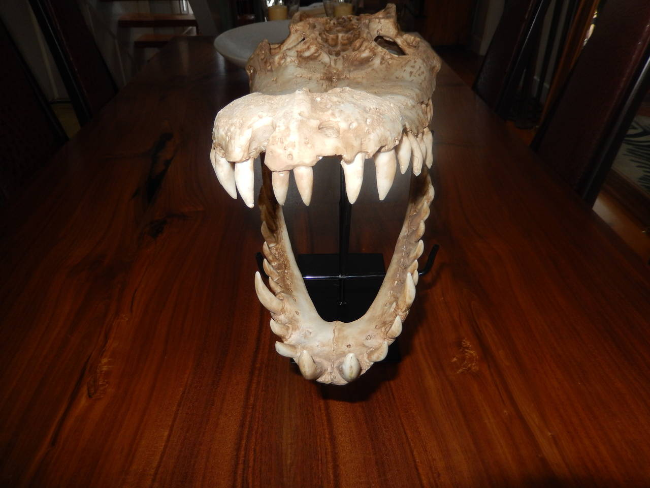 American Large Vintage Cast Aligator Skull For Sale