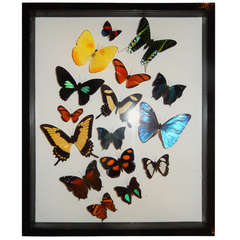 Cased Group of Natural Butterflies