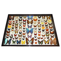 One Hundred Natural Cased Butterflies, Taxidermy