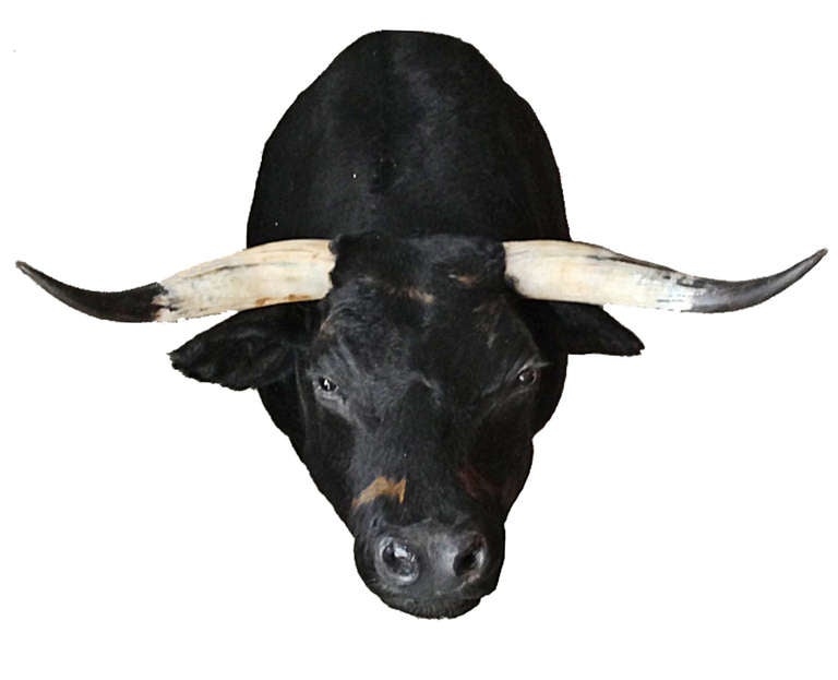 Spanish Bull Spanish Bull Spanish Bull