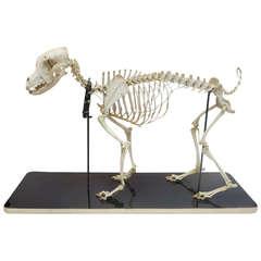 Canine Veterinary Skeletal Model