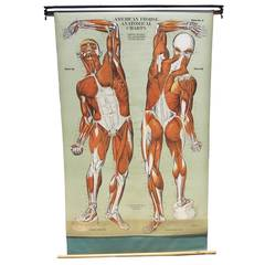 Vintage Anatomical Chart Muscular Structure of Man