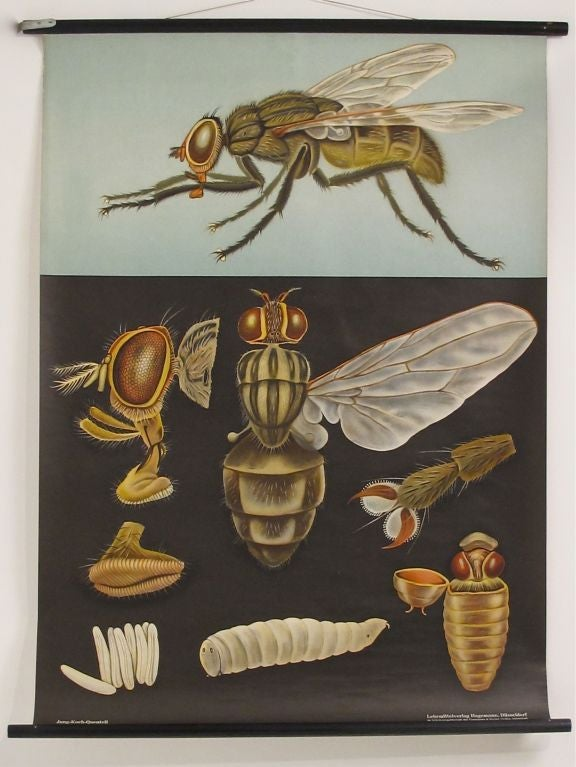 Vintage Anatomy Chart of a Fly at 1stdibs