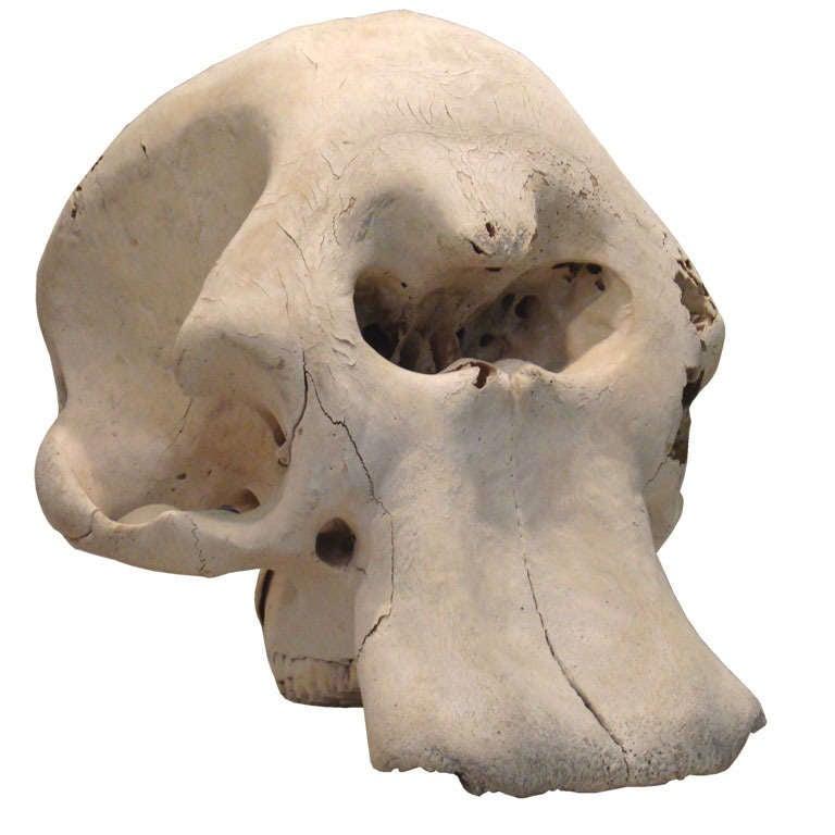 Elephant Skull at 1stdibs