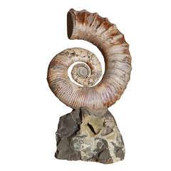 Opalescent Uncoiled Ammonite