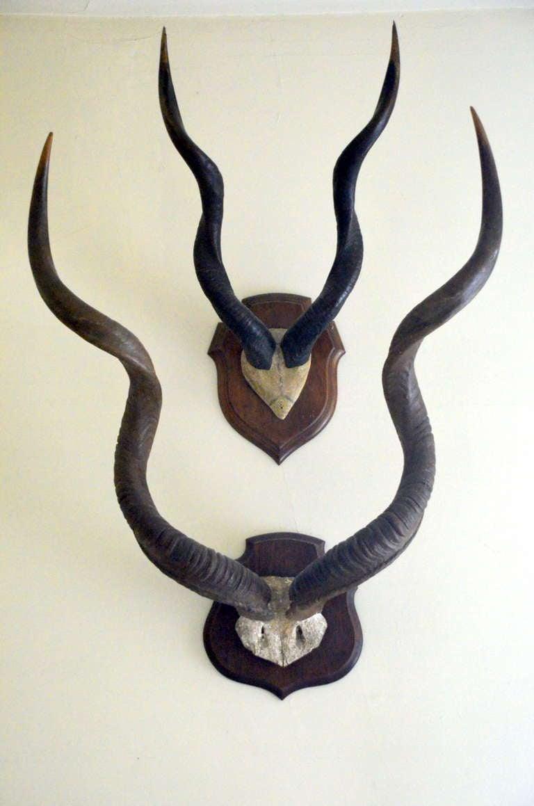 Set of 2 Large Vintage African Antelope Antlers 3