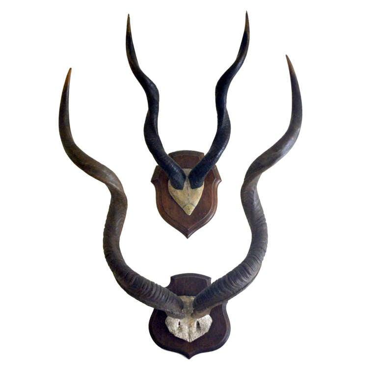 Set of 2 Large Vintage African Antelope Antlers 1