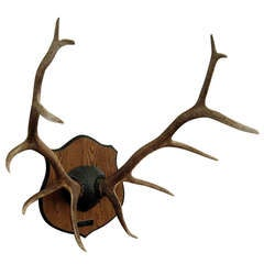 Monumental Antler Mount on Wood Plaque
