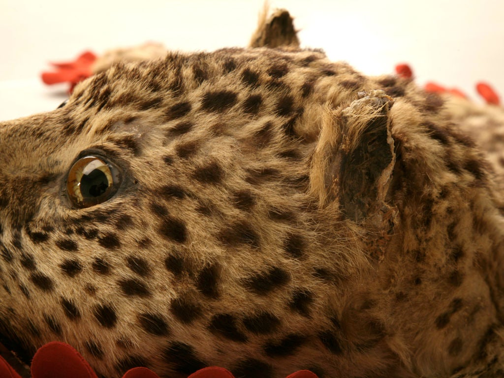 Vintage Authentic Leopard Skin Rug At 1stdibs