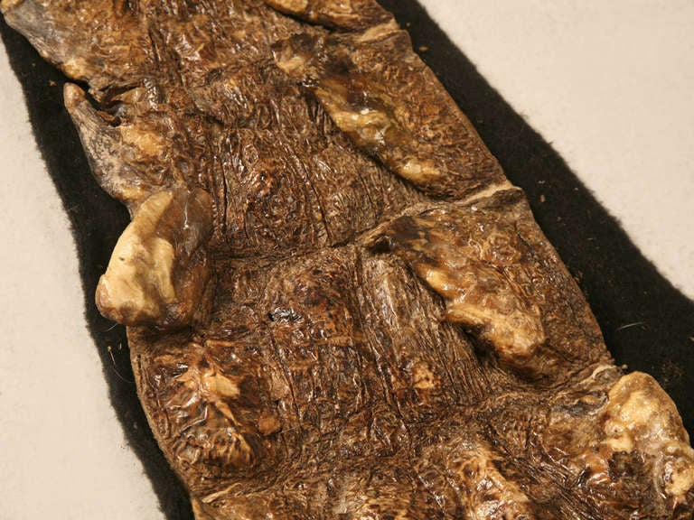 Genuine Authentic Nile Crocodile Skin w/Expert Felt Backing For Sale 1