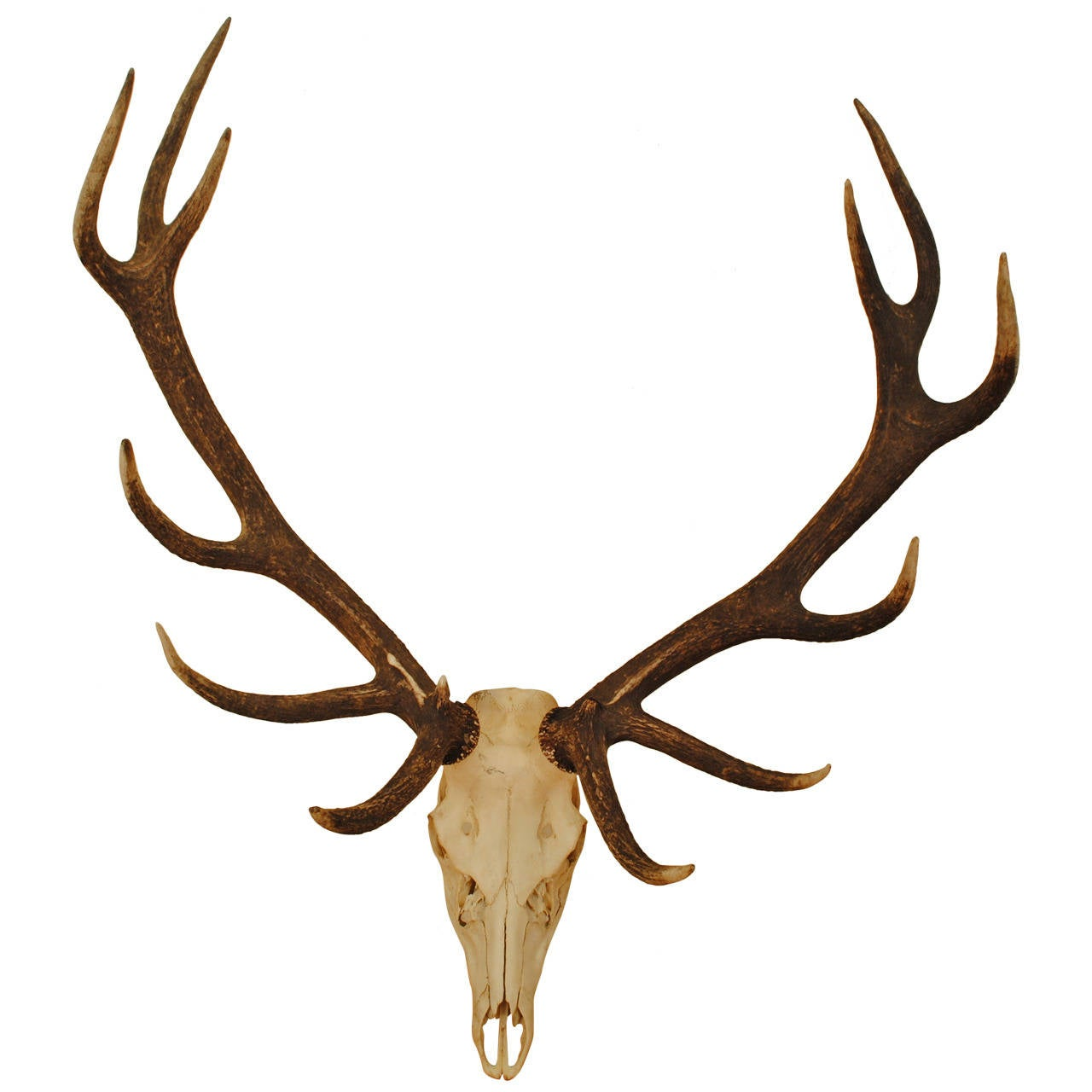 Elk skull drawing - photo#8