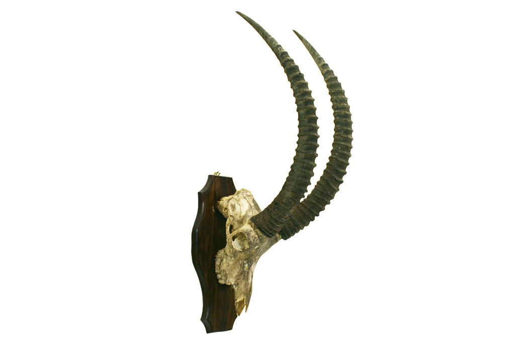 A Rare African Sable Antelope Skull and Horn Mount image 2