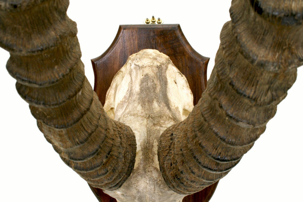 A Rare African Sable Antelope Skull and Horn Mount image 4