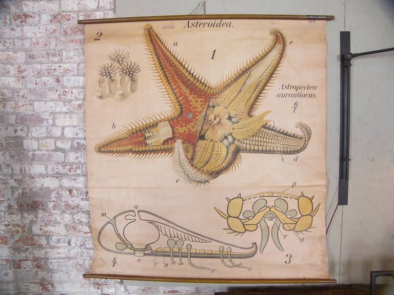 "Pfurtscheller zoological starfish wall plates or chart. Martinus Nijhoff Gravenhage. This chart comes from a series of zoological charts by Paul Pfurtscheller. Imported from Germany by Dennoyer Geppert Co. Measures: 50 1/2"" x 55""."