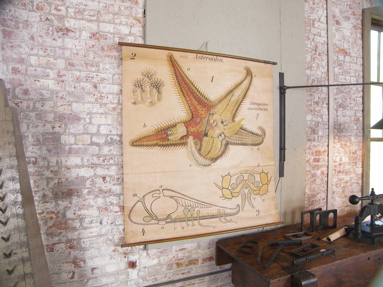 American Pfurtscheller Zoological Starfish Asteroidea Wall Chart Print For Sale