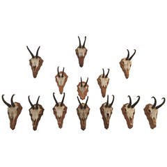 German Collection of Gamsbock Mounted Trophy Horns