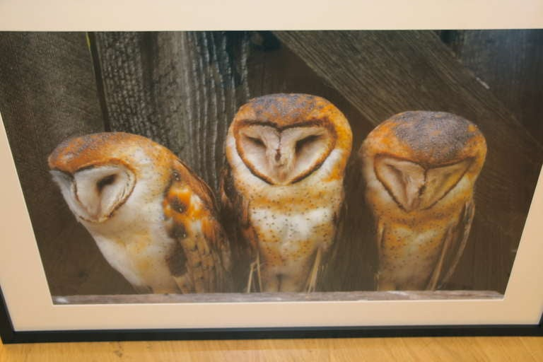 A circa 1990's photograph of barn owls. This is a digital print made from a original 35mm slide. The quality of the image at this size attests to the quality of the equipment. A beautiful composition. This is a limited edition photograph with an