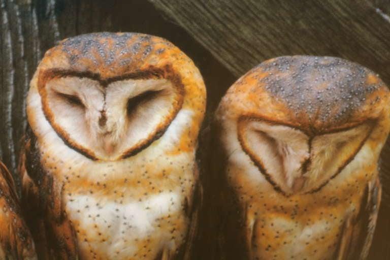 American Photograph Of Barn Owls