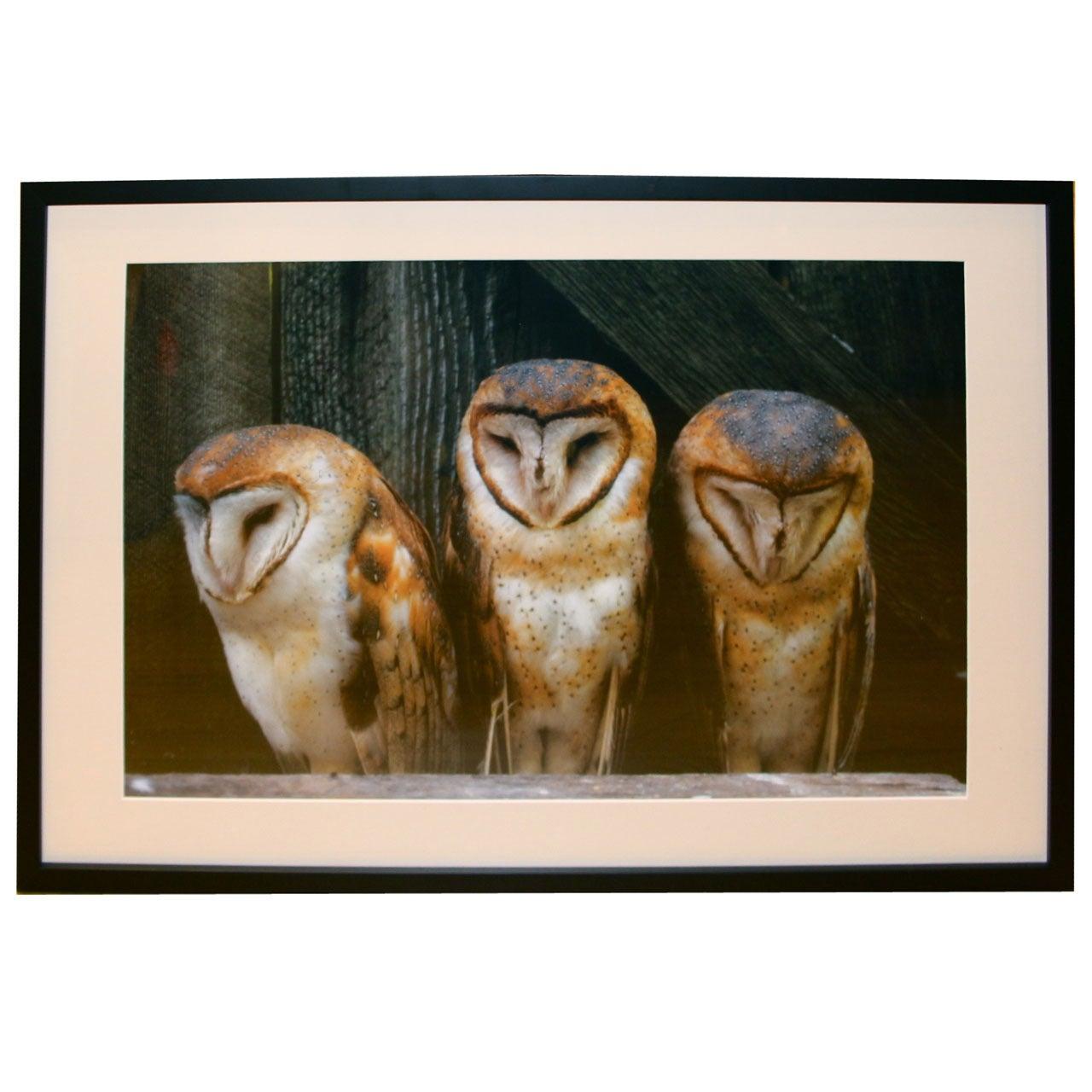 Photograph Of Barn Owls