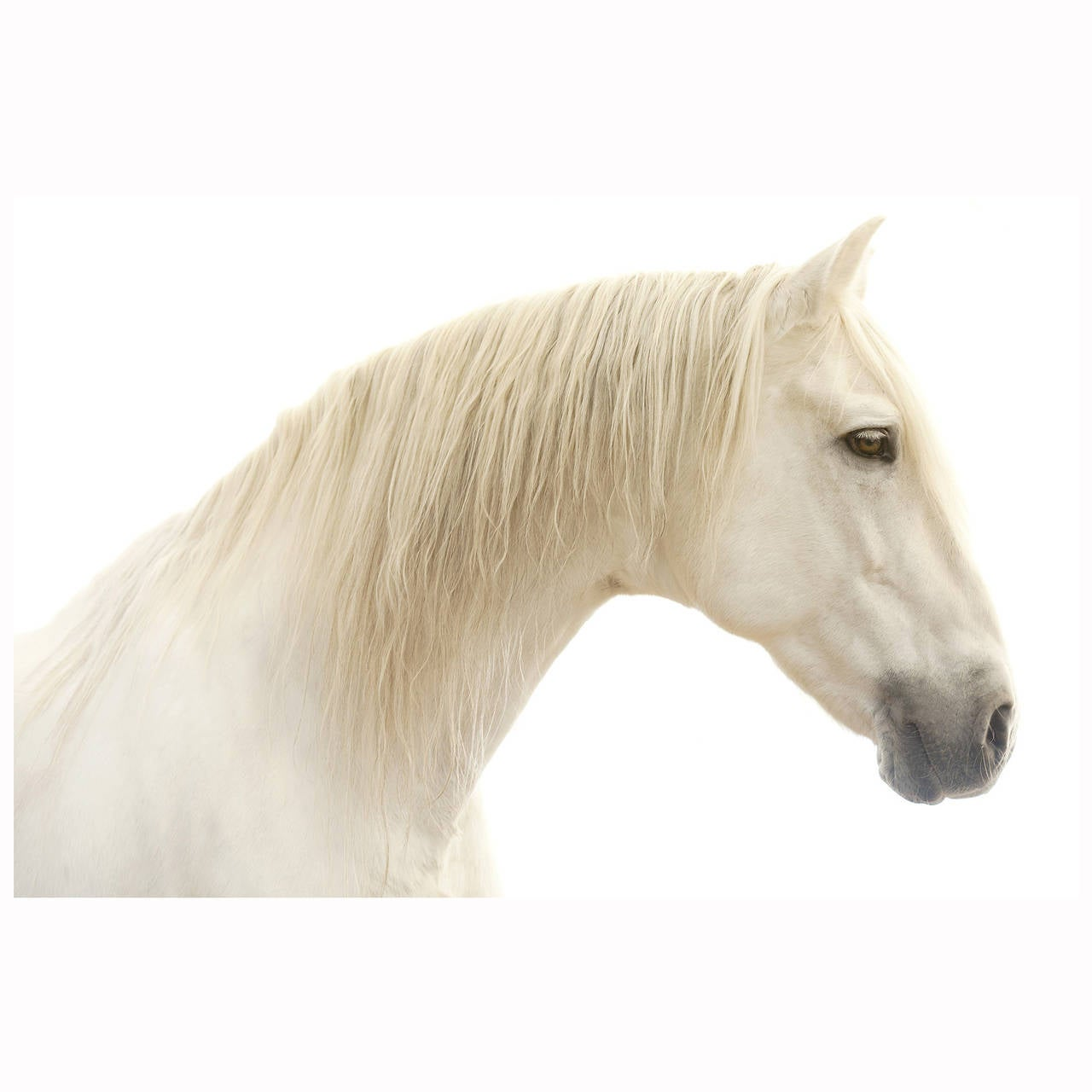 """Athansor,"" Horse Color White Framed Photograph by Lisa Houlgrave 1"