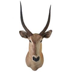 Antelope Taxidermy Head