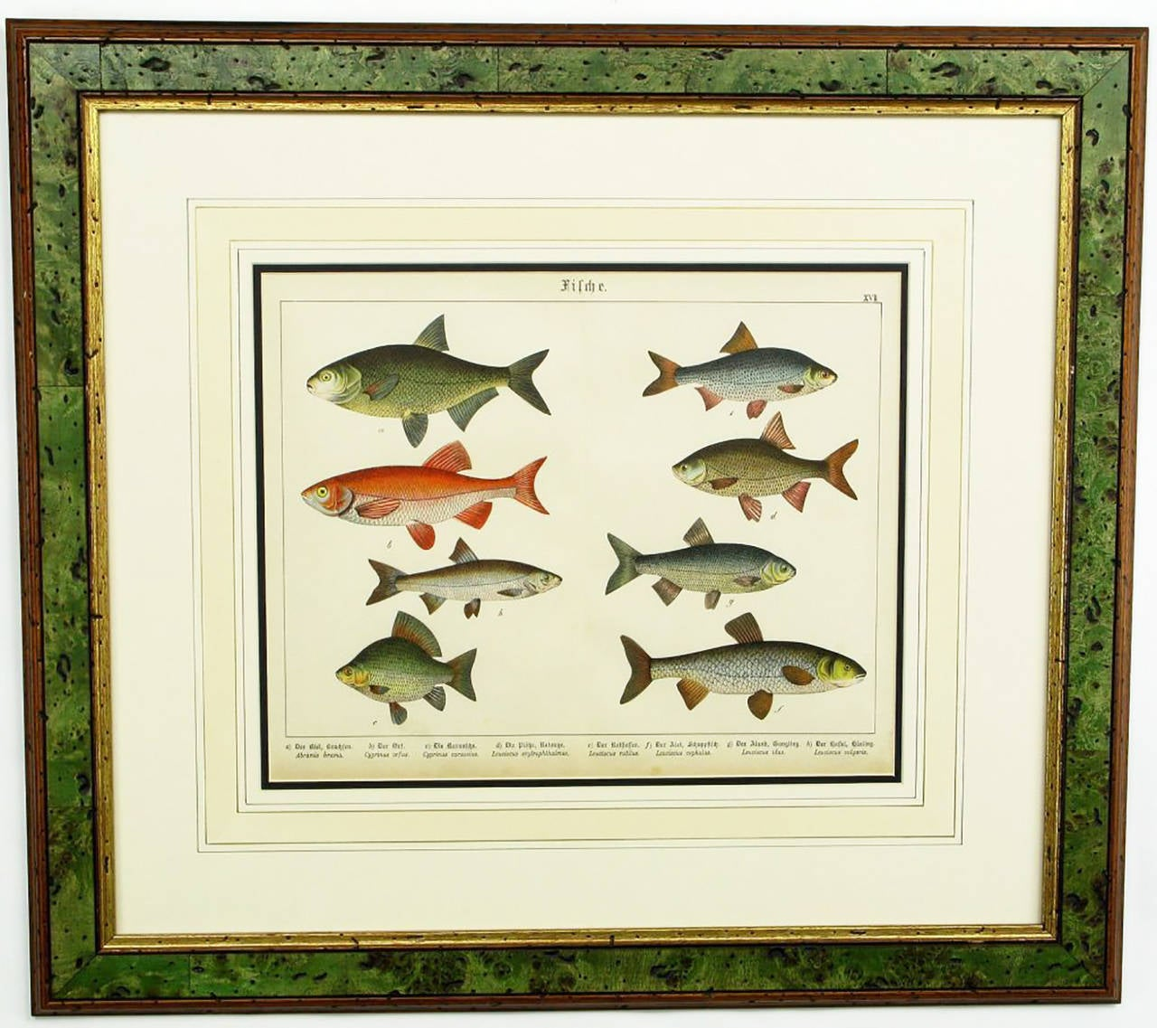 Set of three Schubert color lithographs of piscine sea life. Beautifully framed and matted in mahogany, green tinted pecky cypress and gilt.