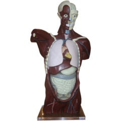 Mid-Century Anatomical Model