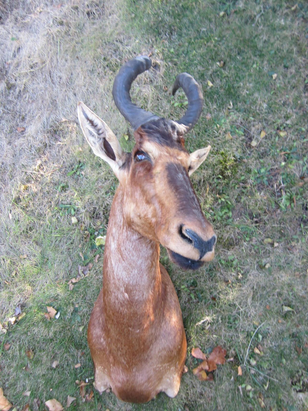 Noble antelope head wall-mounted.