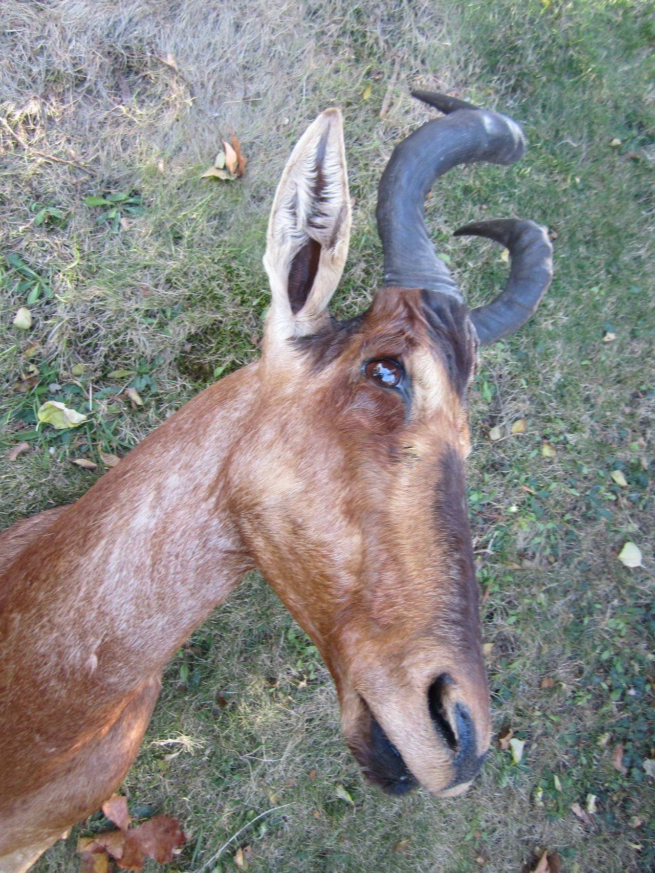 Antelope Taxidermy Head for Wall Mount In Excellent Condition For Sale In East Hampton, NY