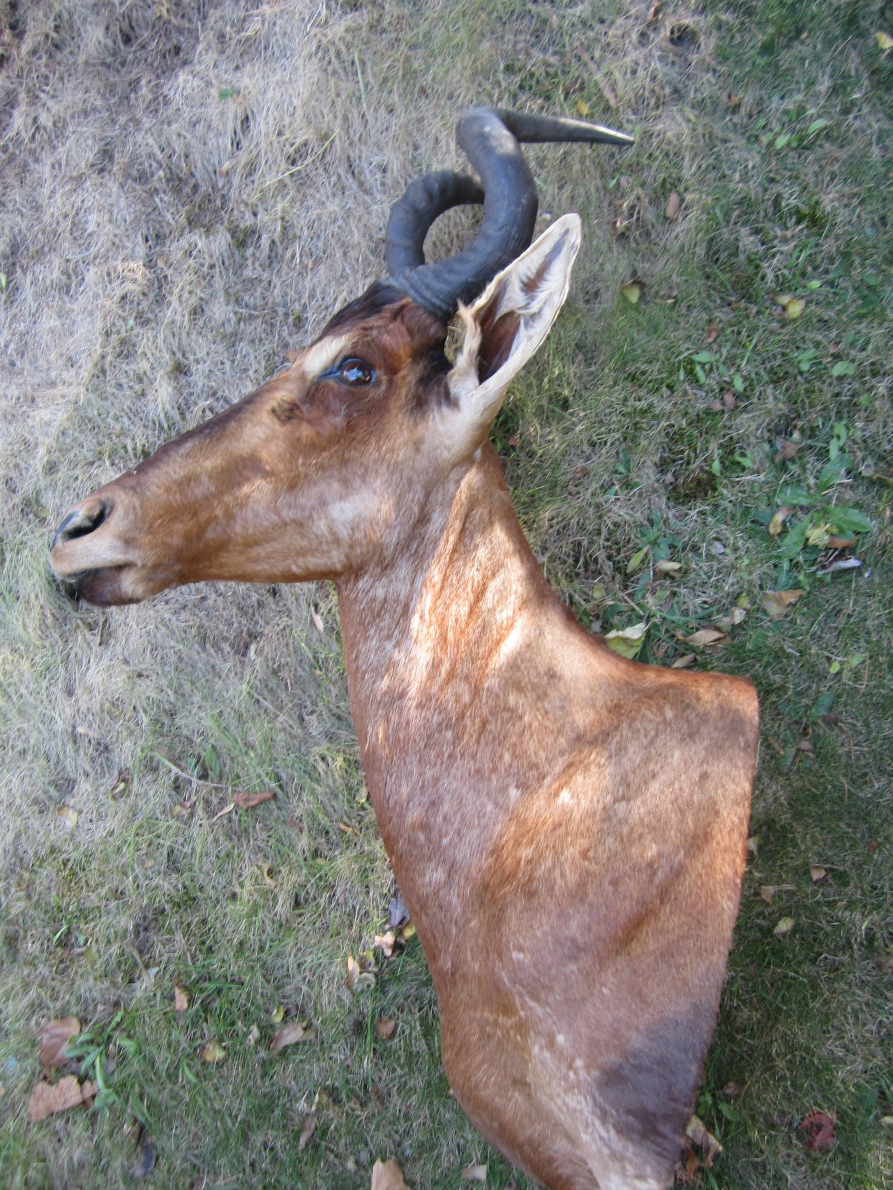 20th Century Antelope Taxidermy Head for Wall Mount For Sale