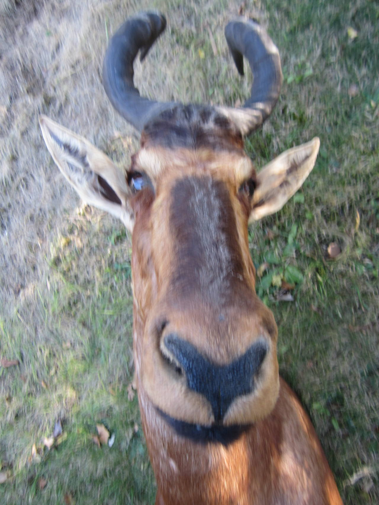 Antelope Taxidermy Head for Wall Mount For Sale 1