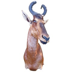 Antelope Taxidermy Head for Wall Mount