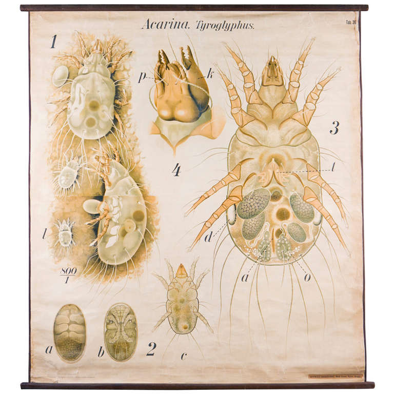 Giant French Biological Chart of a Tick by Paul Pfurtscheller, circa 1950 For Sale
