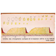 Vintage Hand-Drawn Belgian Anatomical Biology Chart of Menstrual Cycle