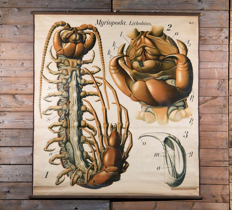 Beautiful graphics and eye-catching coloring. Chart consists of various anatomical diagrams of a centipede. This chart belongs to a series of animal or species studies please see our other listings if there is a specific species you are