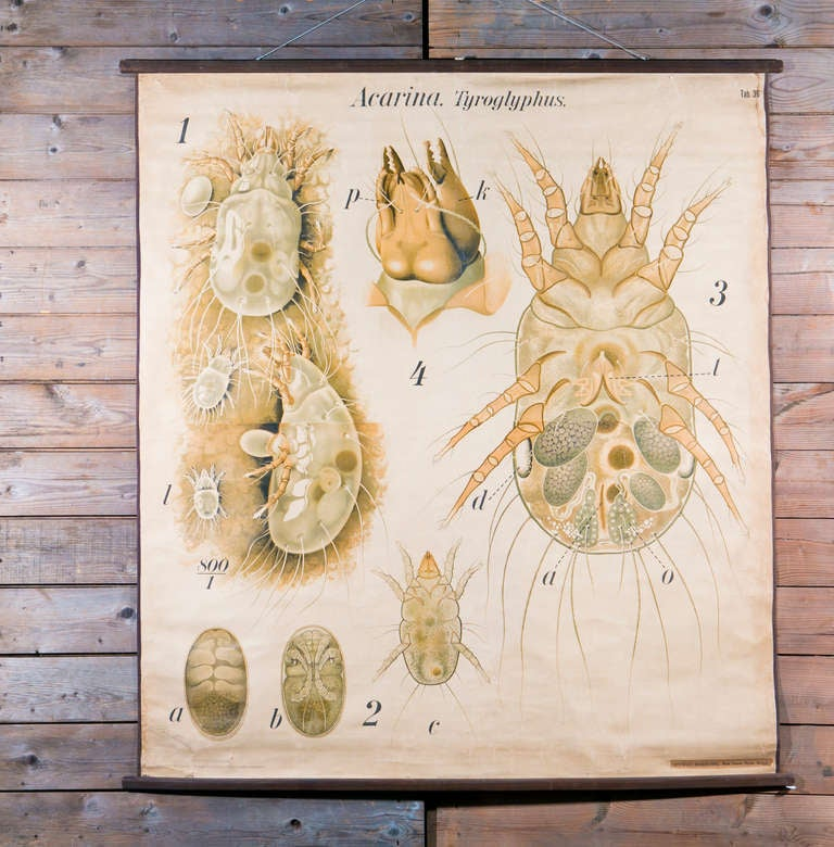 Beautiful graphics and eye-catching coloring. Large vintage chart consists of various anatomical diagrams of a tick. This chart belongs to a series of animal or species studies please see our other listings if there is a specific species you are