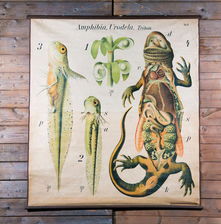 Vintage French School Chart of Lizard by Paul ...