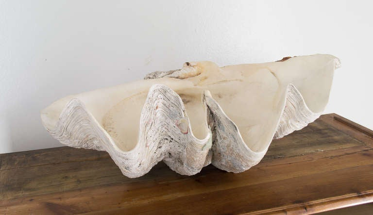 Giant Clam Shell 3