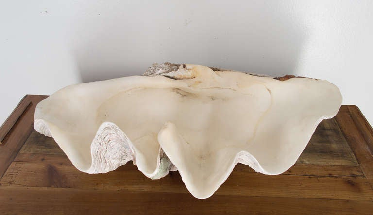 Giant Clam Shell 4