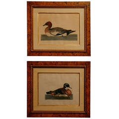 "Pair of Copper Engravings ""Portraits of British Exotic Birds"""