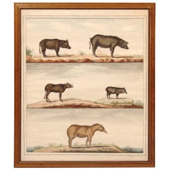 Large Original Animal Illustrations of Wild Boars and Pigs