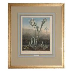 "Mezzotint ""American Bog Plants"" by Dr. Thornton"