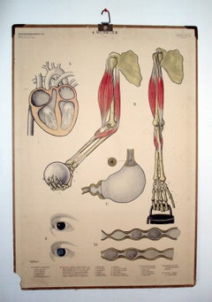 Vintage Swedish Mid-Century Medical Educational Diagram