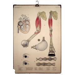 Vintage Swedish Mid-Century Medical Educational Diagram