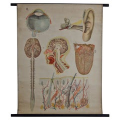 Antique Anatomical Chart Architecture of the Human Anatomy by E. Hoelemann