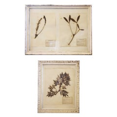Mounted Flower Botanical - Herbiers