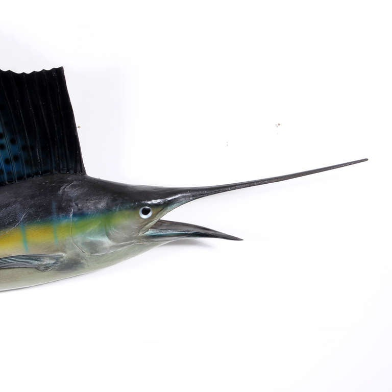 Old skin mount taxidermy sailfish are rare. This fish is in fabulous condition, caught in New England in 1944. The older skin mount fish are usually mounted with a straight back, rather than a curved back, which became popular in the 1970's. The