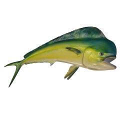 Tropical Colorful Dolphin or Maui Maui Skin Mount Fish