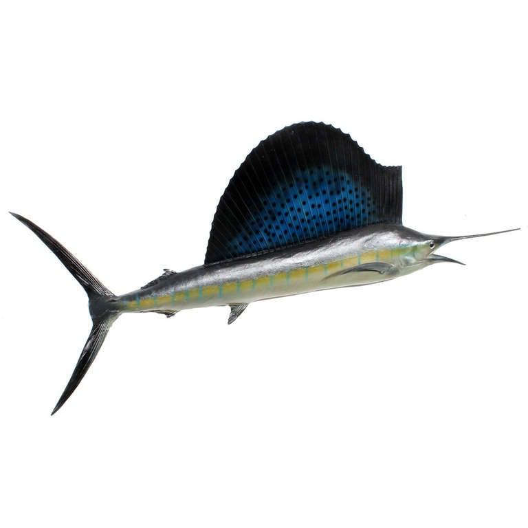 Taxidermy Sailfish