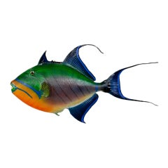 Tropical Skin Mount Trigger Fish with Incredible Colors